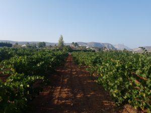 Viñedos en La Alberca (Teulada)